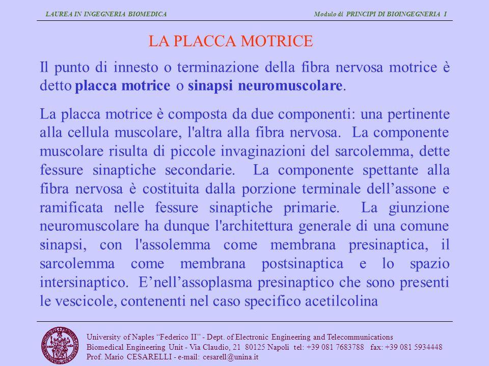 LA PLACCA MOTRICE Il punto di innesto o terminazione della fibra nervosa motrice è detto placca motrice o sinapsi neuromuscolare.