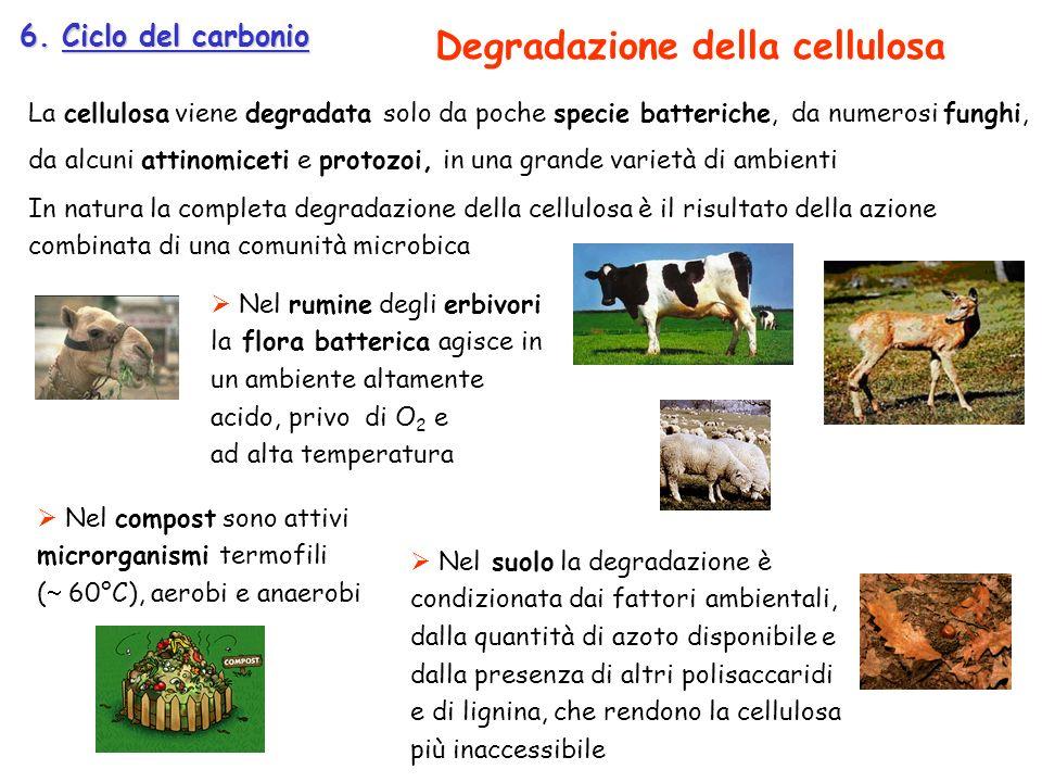 Degradazione della cellulosa