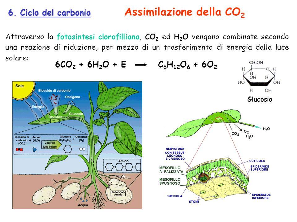 Assimilazione della CO2