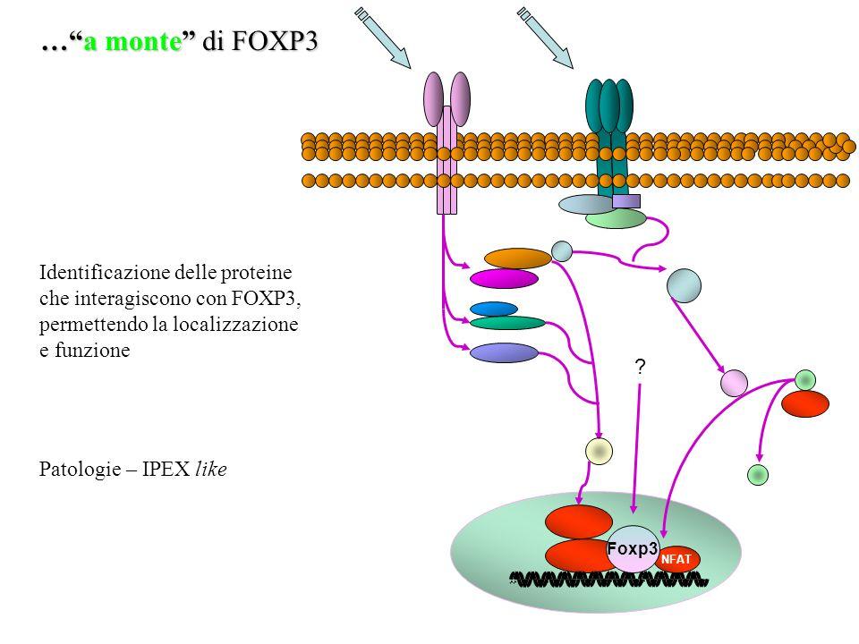 … a monte di FOXP3 Identificazione delle proteine