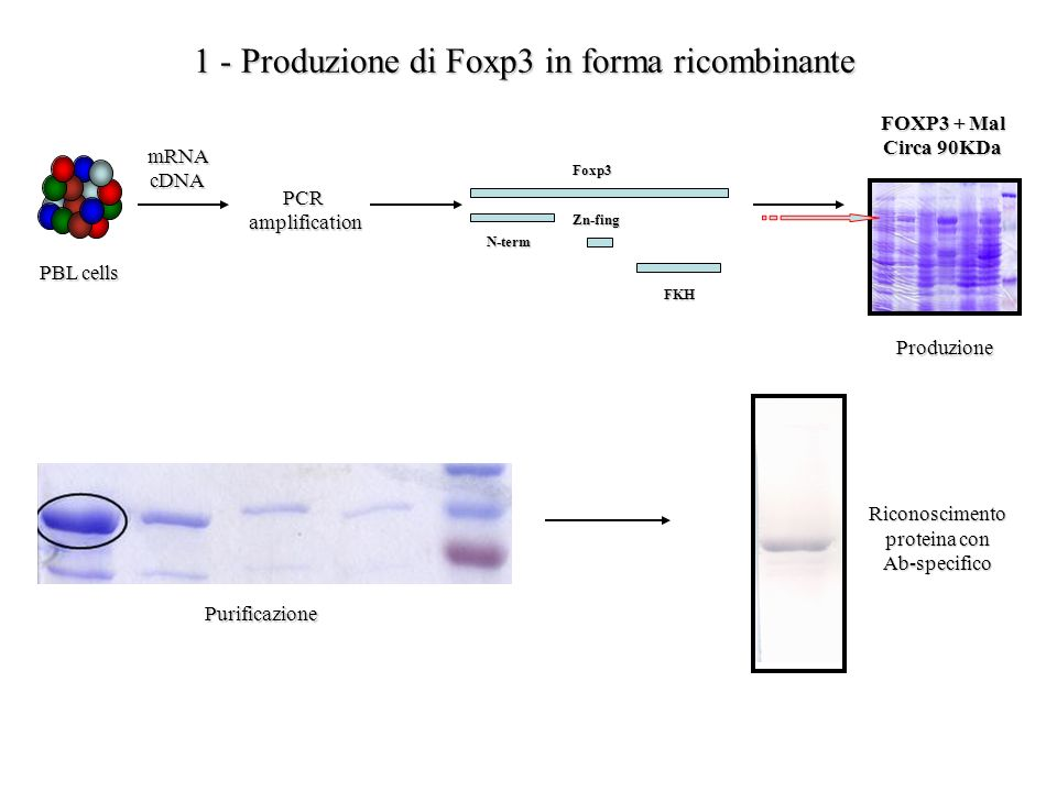 1 - Produzione di Foxp3 in forma ricombinante