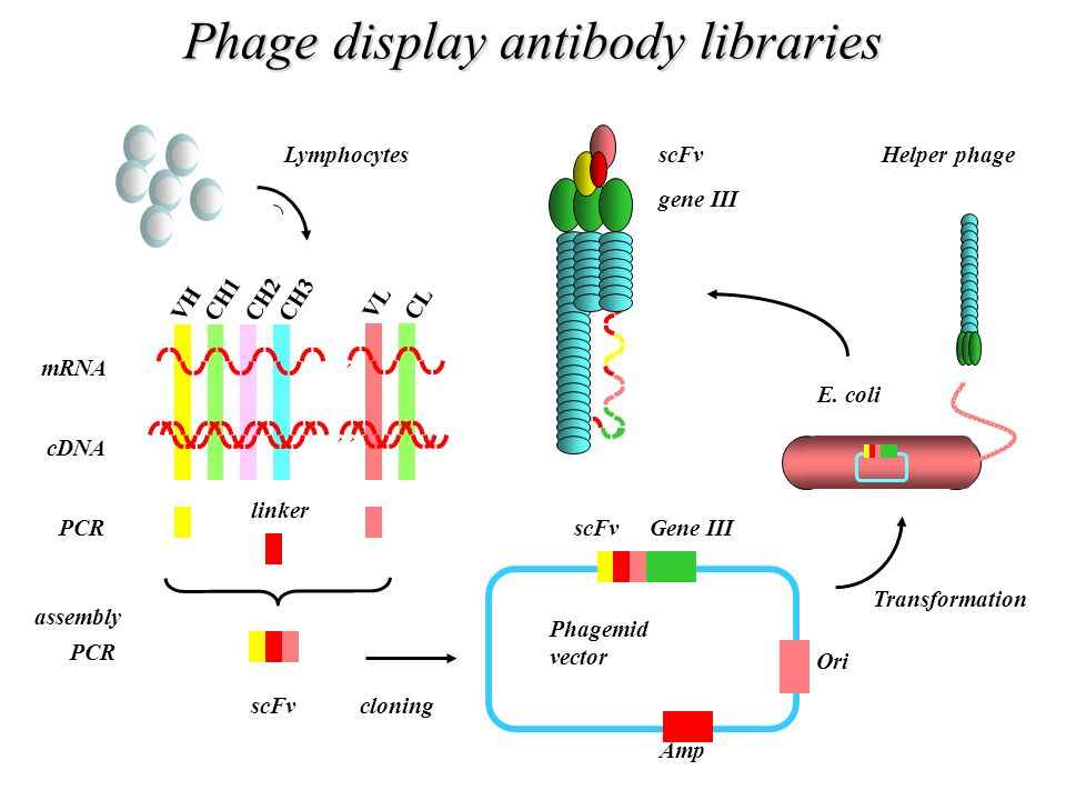 Phage display antibody libraries