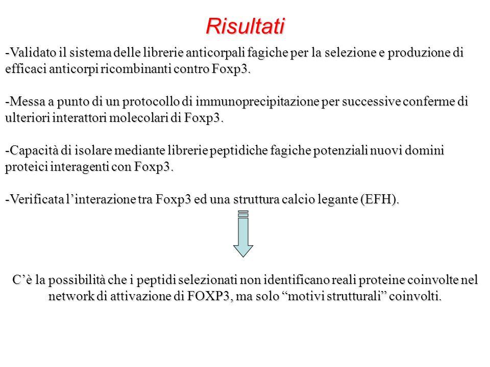 Risultati Validato il sistema delle librerie anticorpali fagiche per la selezione e produzione di efficaci anticorpi ricombinanti contro Foxp3.