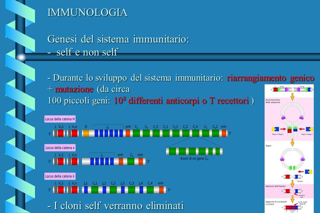 IMMUNOLOGIA Genesi del sistema immunitario: - self e non self - Durante lo sviluppo del sistema immunitario: riarrangiamento genico + mutazione (da circa 100 piccoli geni: 108 differenti anticorpi o T recettori ) - I cloni self verranno eliminati