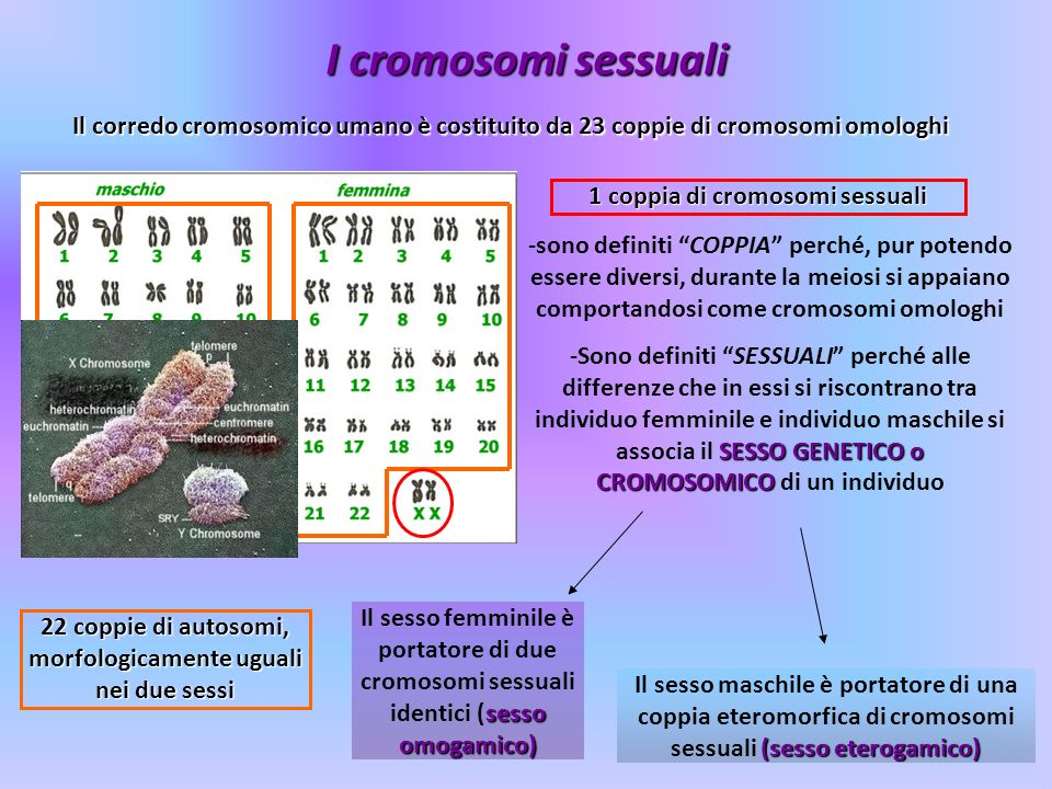 I cromosomi sessuali Il corredo cromosomico umano è costituito da 23 coppie di cromosomi omologhi. 1 coppia di cromosomi sessuali.