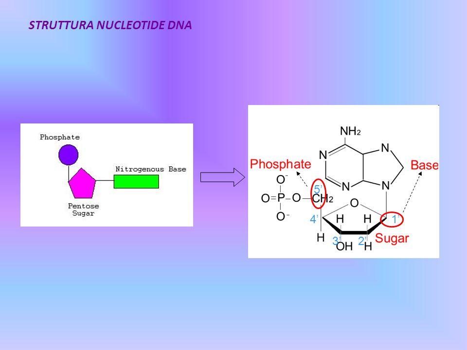 STRUTTURA NUCLEOTIDE DNA
