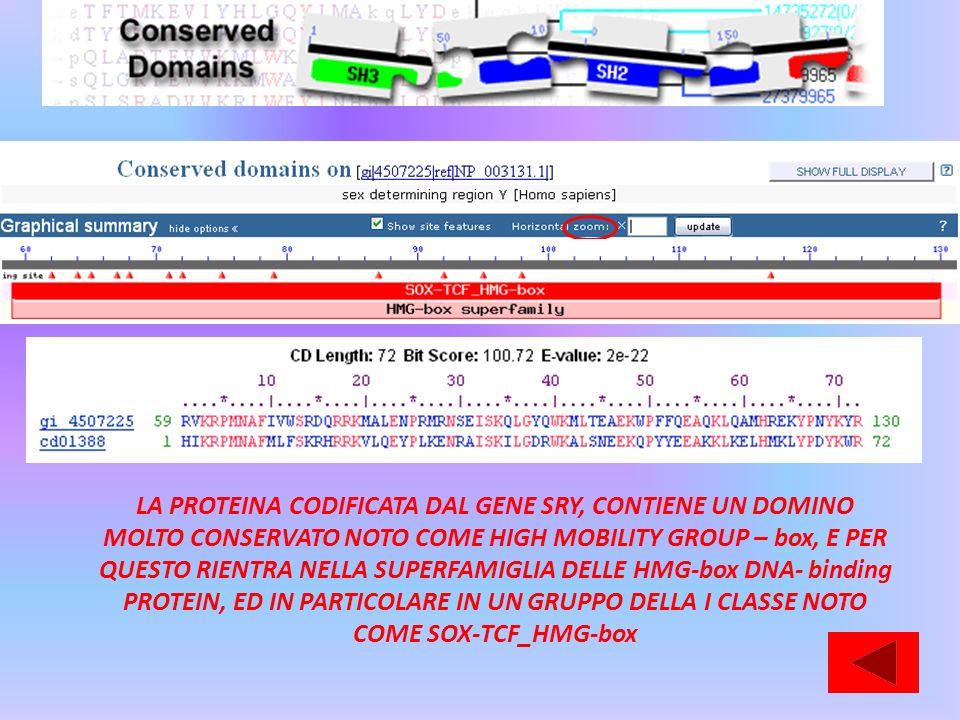 LA PROTEINA CODIFICATA DAL GENE SRY, CONTIENE UN DOMINO MOLTO CONSERVATO NOTO COME HIGH MOBILITY GROUP – box, E PER QUESTO RIENTRA NELLA SUPERFAMIGLIA DELLE HMG-box DNA- binding PROTEIN, ED IN PARTICOLARE IN UN GRUPPO DELLA I CLASSE NOTO COME SOX-TCF_HMG-box
