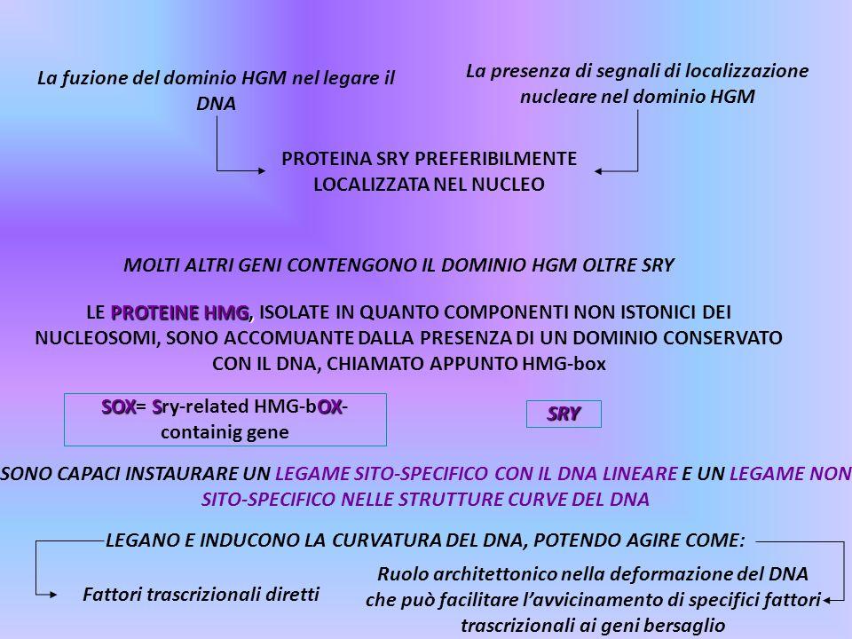 La presenza di segnali di localizzazione nucleare nel dominio HGM