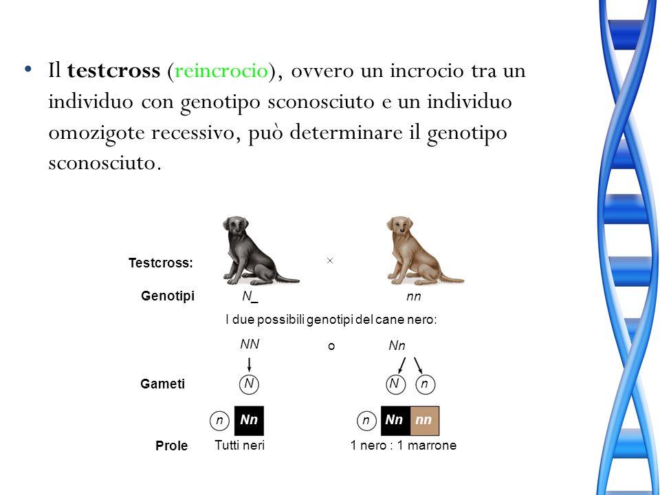 Il testcross (reincrocio), ovvero un incrocio tra un individuo con genotipo sconosciuto e un individuo omozigote recessivo, può determinare il genotipo sconosciuto.