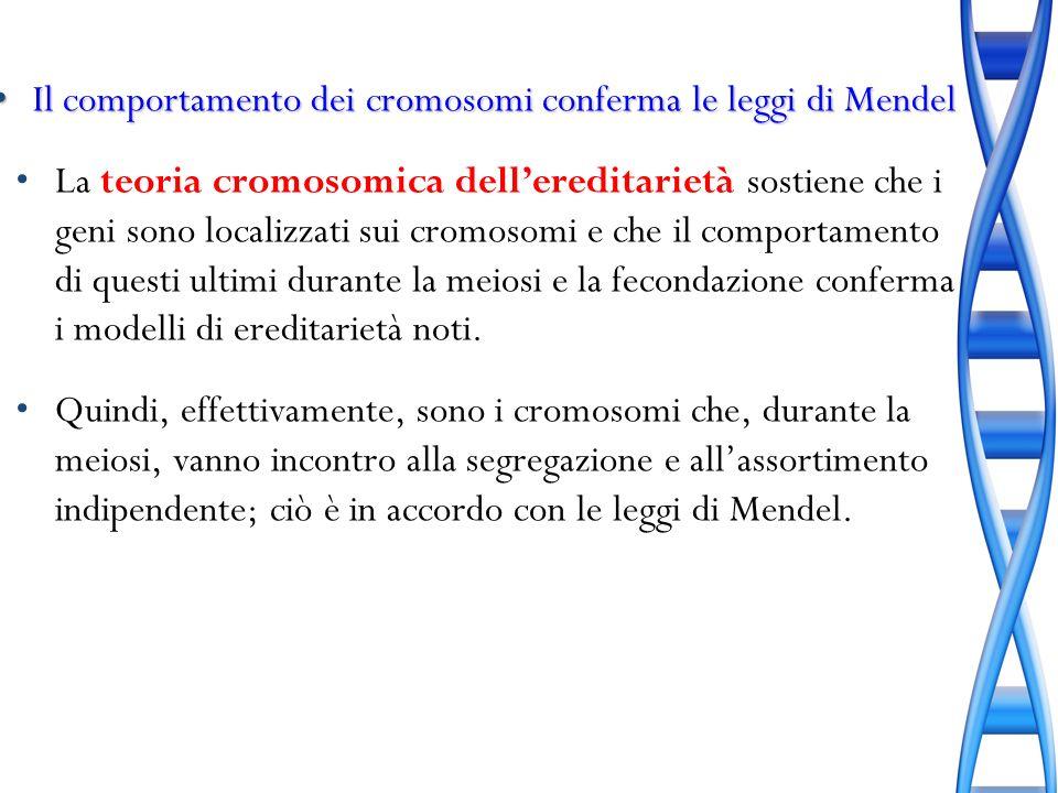 Il comportamento dei cromosomi conferma le leggi di Mendel