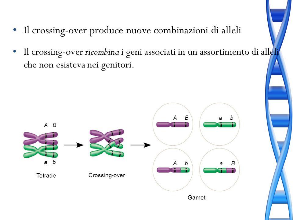 Il crossing-over produce nuove combinazioni di alleli