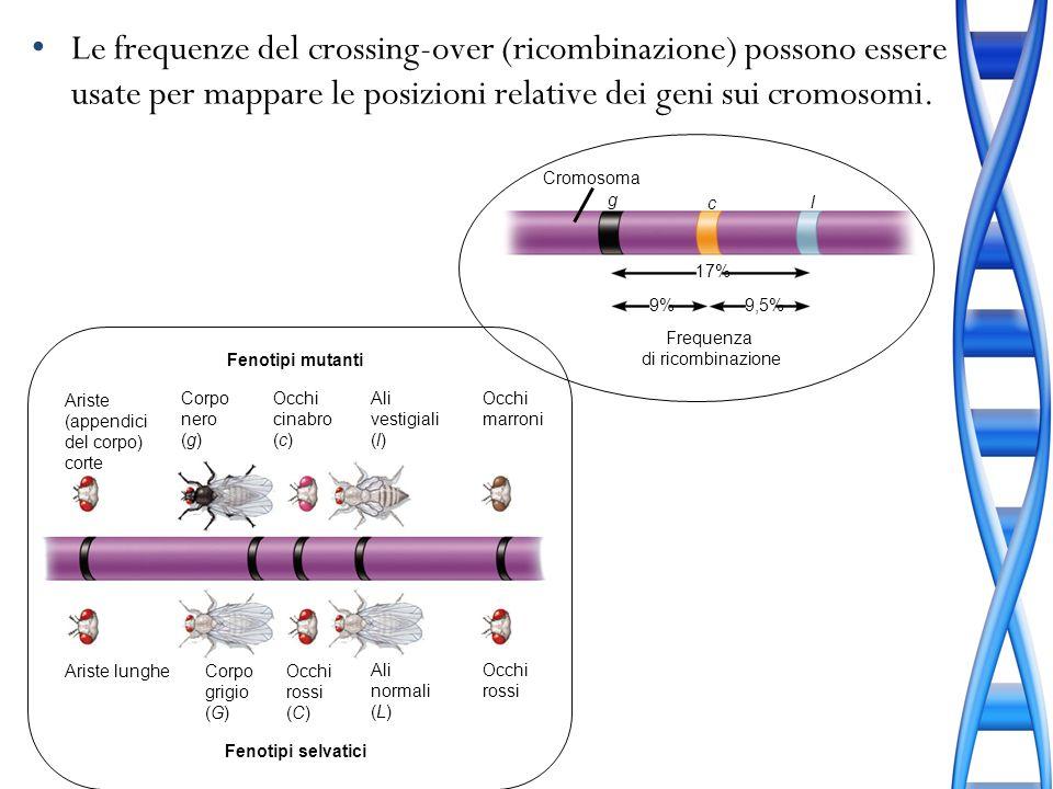 Le frequenze del crossing-over (ricombinazione) possono essere usate per mappare le posizioni relative dei geni sui cromosomi.