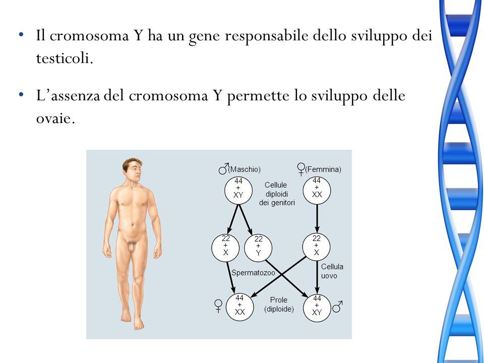 Il cromosoma Y ha un gene responsabile dello sviluppo dei testicoli.