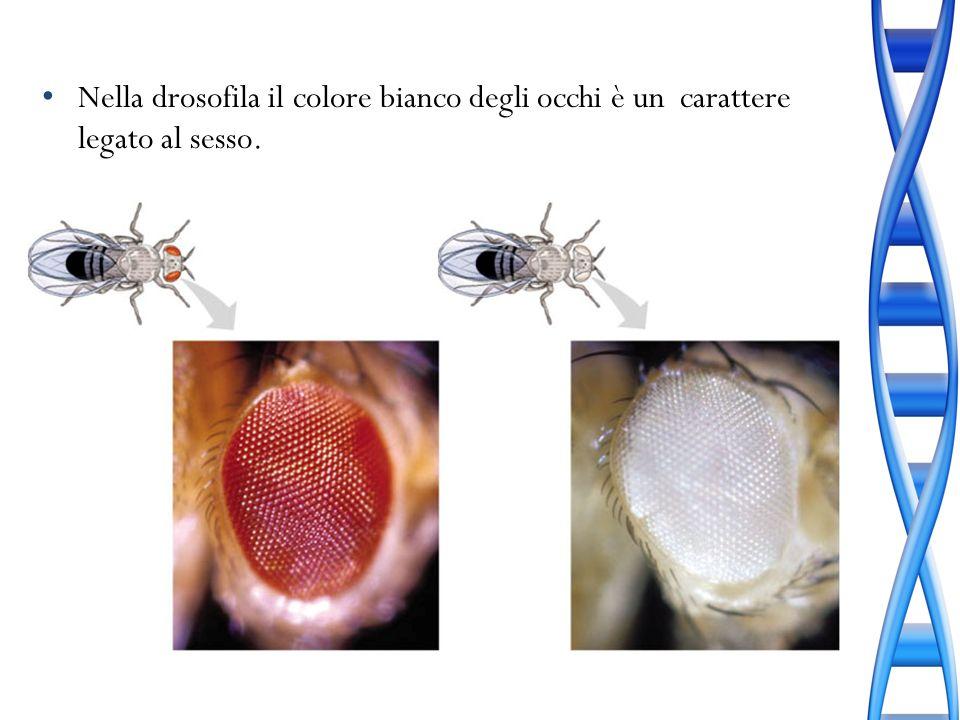 Nella drosofila il colore bianco degli occhi è un carattere legato al sesso.
