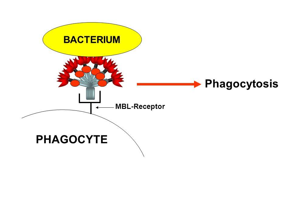 Phagocytosis PHAGOCYTE