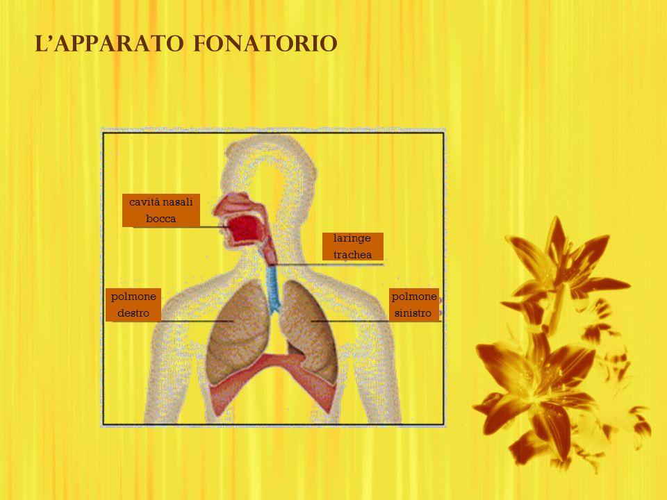L'apparato fonatorio cavità nasali bocca laringe trachea polmone