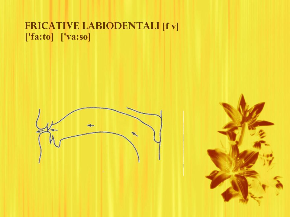 Fricative labiodentali [f v] [ fa:to] [ va:so]