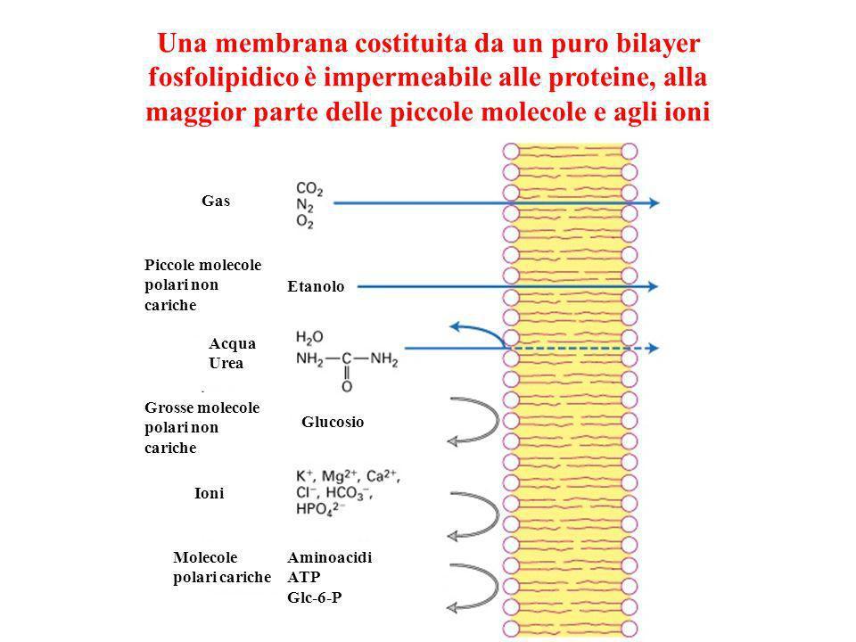 Una membrana costituita da un puro bilayer fosfolipidico è impermeabile alle proteine, alla maggior parte delle piccole molecole e agli ioni