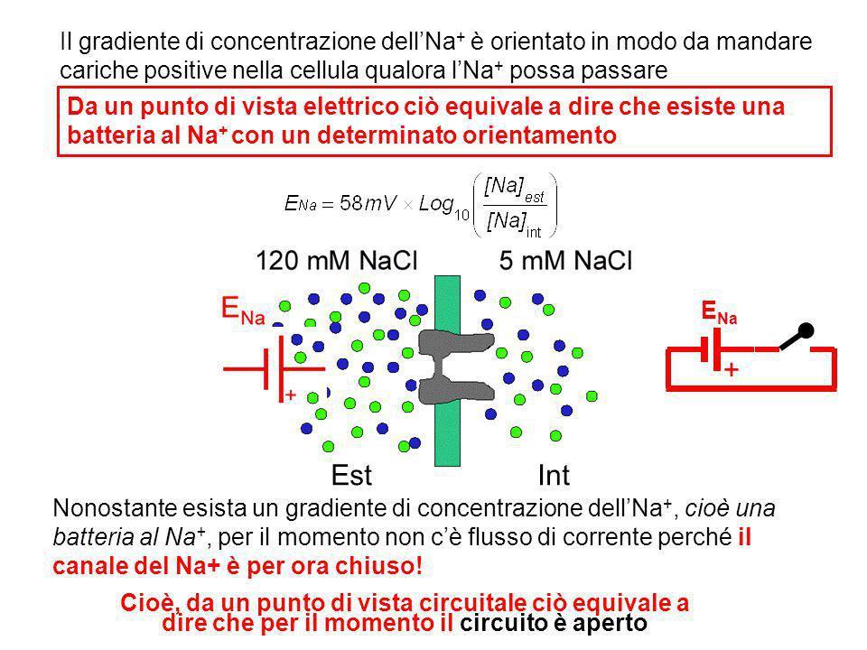 Il gradiente di concentrazione dell'Na+ è orientato in modo da mandare cariche positive nella cellula qualora l'Na+ possa passare
