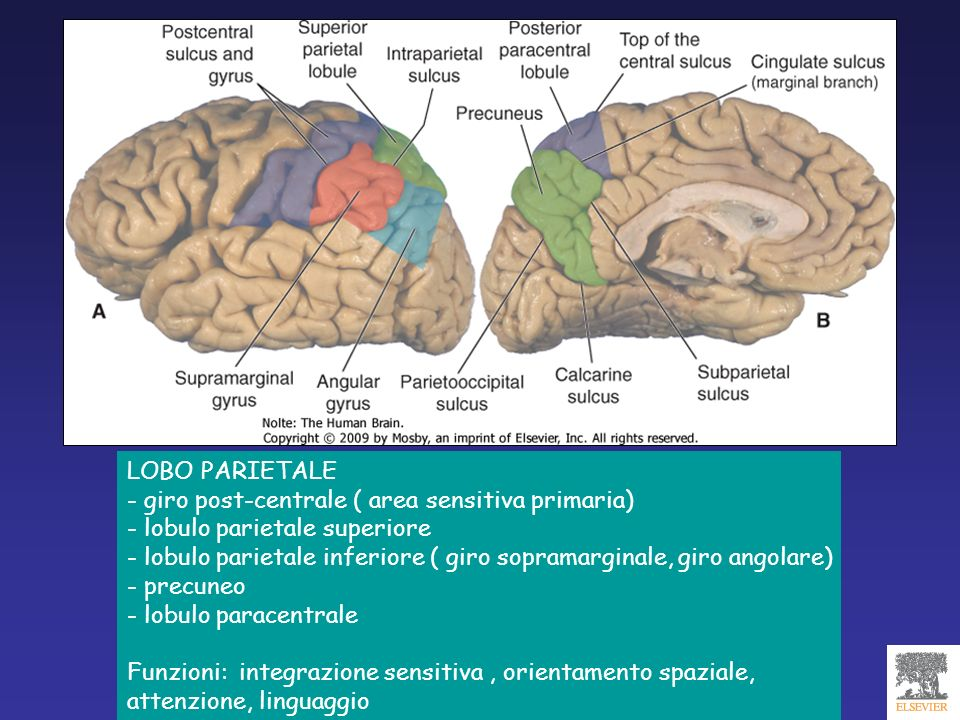 LOBO PARIETALE - giro post-centrale ( area sensitiva primaria) - lobulo parietale superiore.