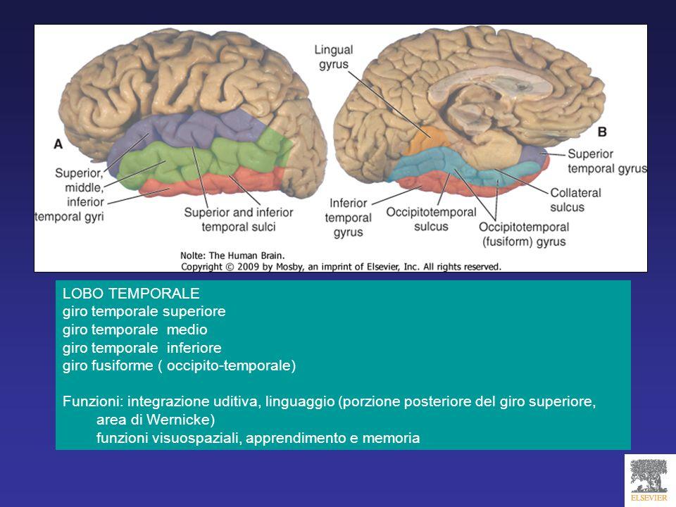 LOBO TEMPORALE giro temporale superiore. giro temporale medio. giro temporale inferiore. giro fusiforme ( occipito-temporale)