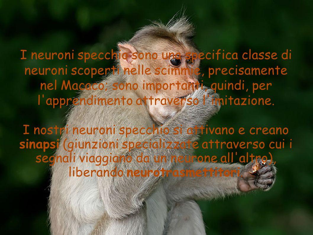 I neuroni specchio sono una specifica classe di neuroni scoperti nelle scimmie, precisamente nel Macaco; sono importanti, quindi, per l apprendimento attraverso l imitazione.