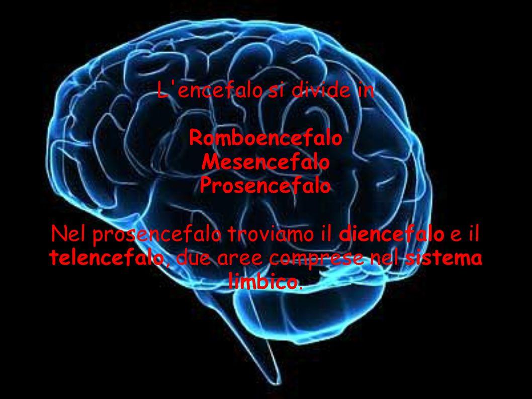 L encefalo si divide in Romboencefalo. Mesencefalo. Prosencefalo.