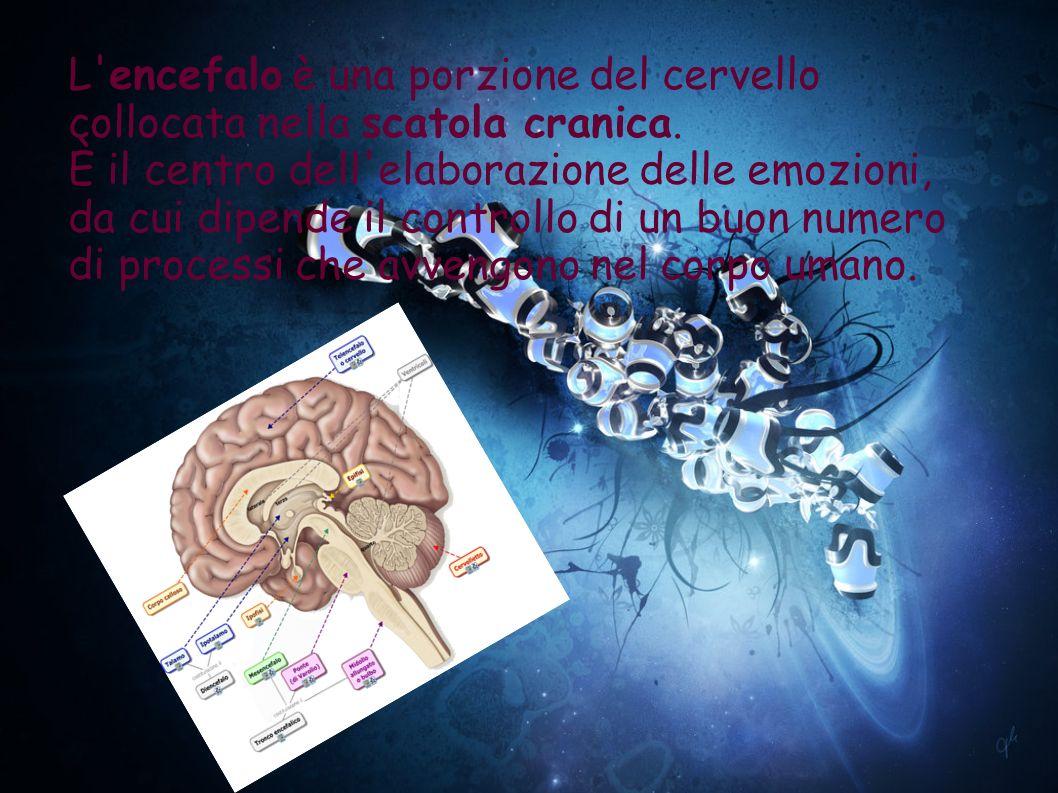 L encefalo è una porzione del cervello collocata nella scatola cranica