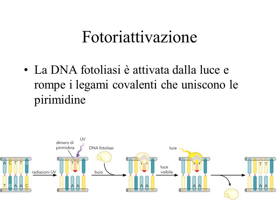 Fotoriattivazione La DNA fotoliasi è attivata dalla luce e rompe i legami covalenti che uniscono le pirimidine.