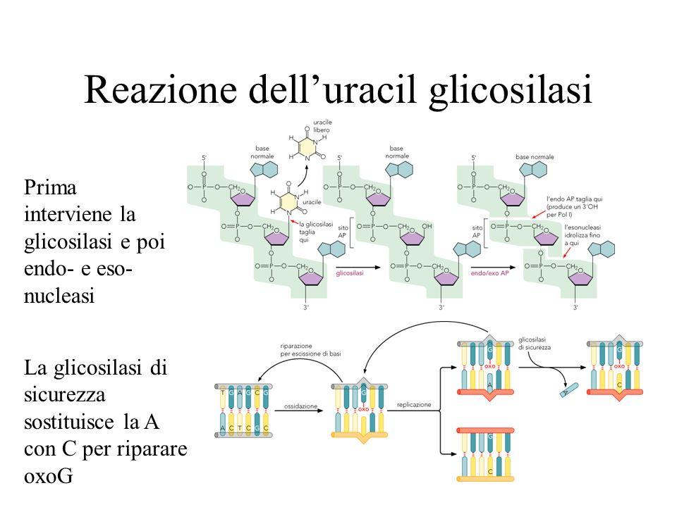 Reazione dell'uracil glicosilasi