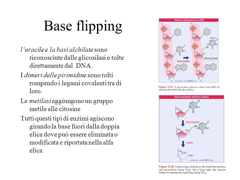 Base flipping l'uracile e la basi alchilate sono riconosciute dalle glicosilasi e tolte direttamente dal DNA.