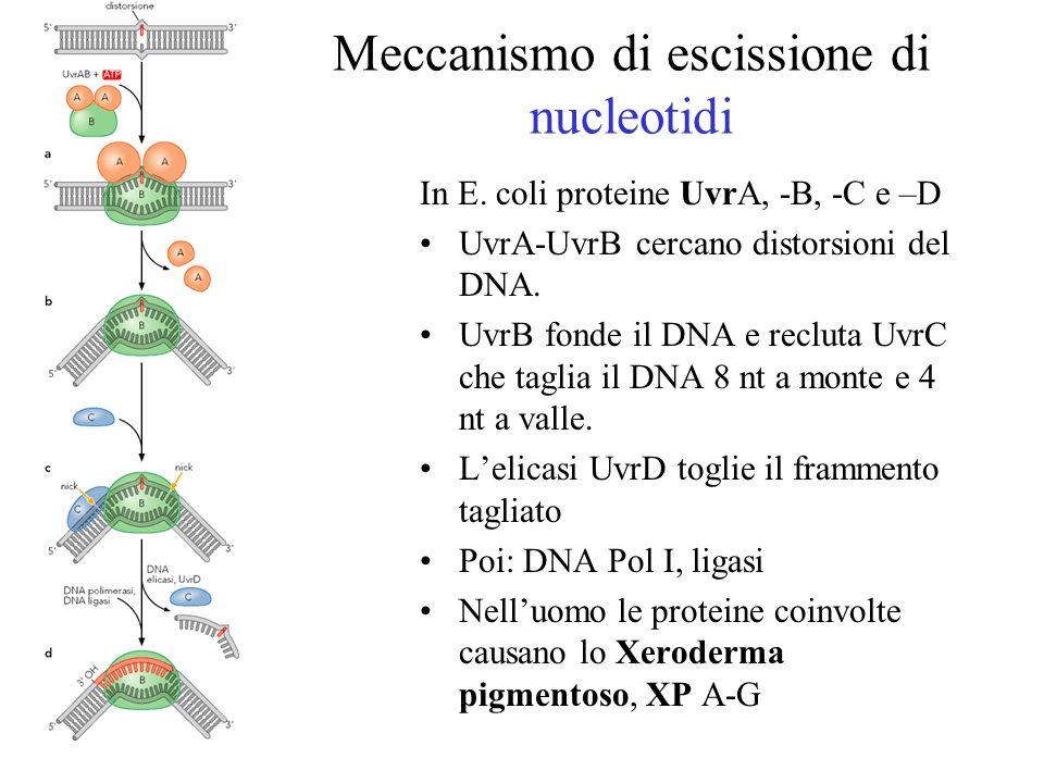 Meccanismo di escissione di nucleotidi