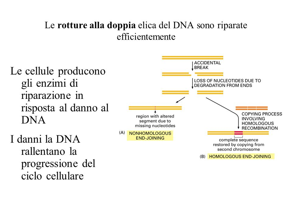 Le rotture alla doppia elica del DNA sono riparate efficientemente