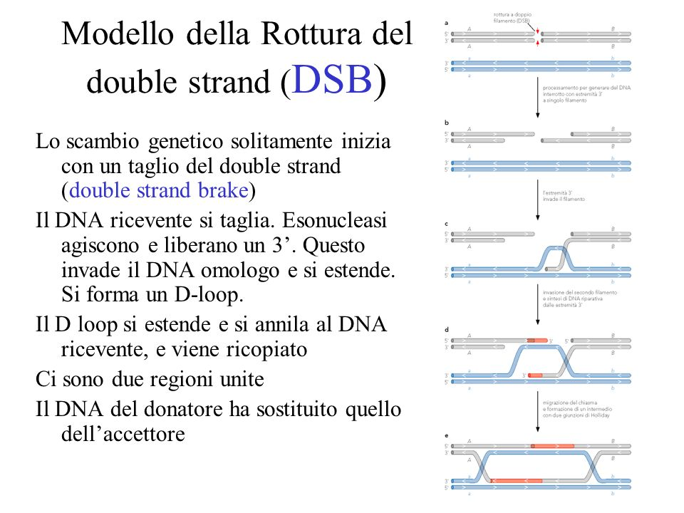 Modello della Rottura del double strand (DSB)
