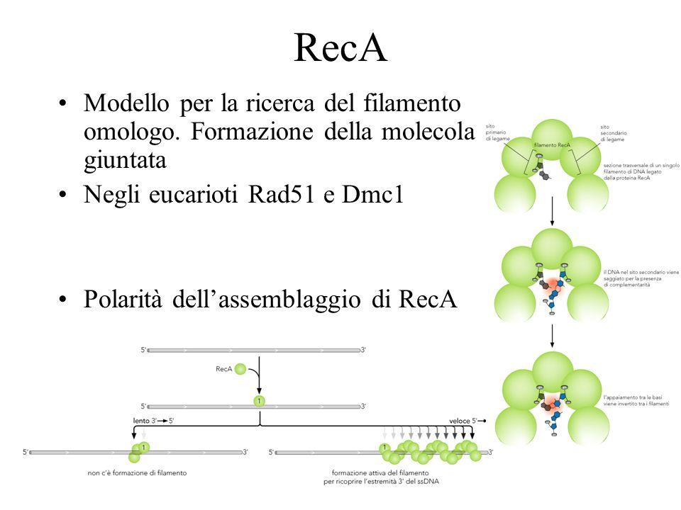 RecA Modello per la ricerca del filamento omologo. Formazione della molecola giuntata. Negli eucarioti Rad51 e Dmc1.