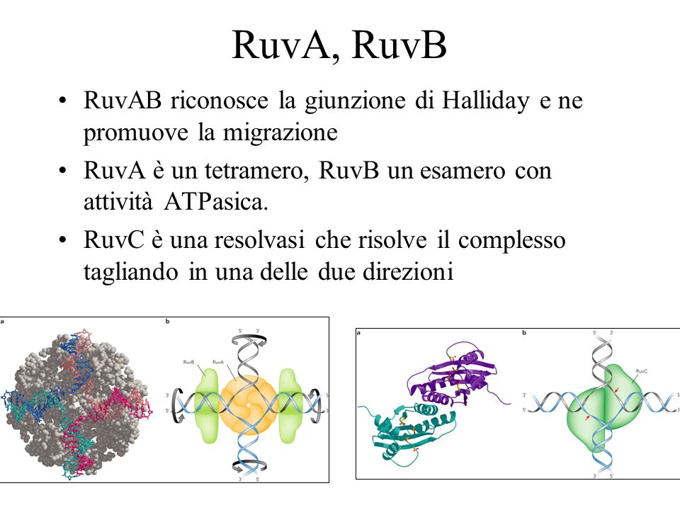 RuvA, RuvB RuvAB riconosce la giunzione di Halliday e ne promuove la migrazione. RuvA è un tetramero, RuvB un esamero con attività ATPasica.