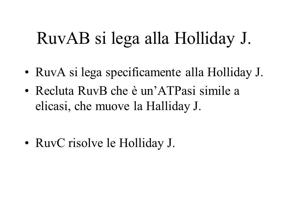 RuvAB si lega alla Holliday J.