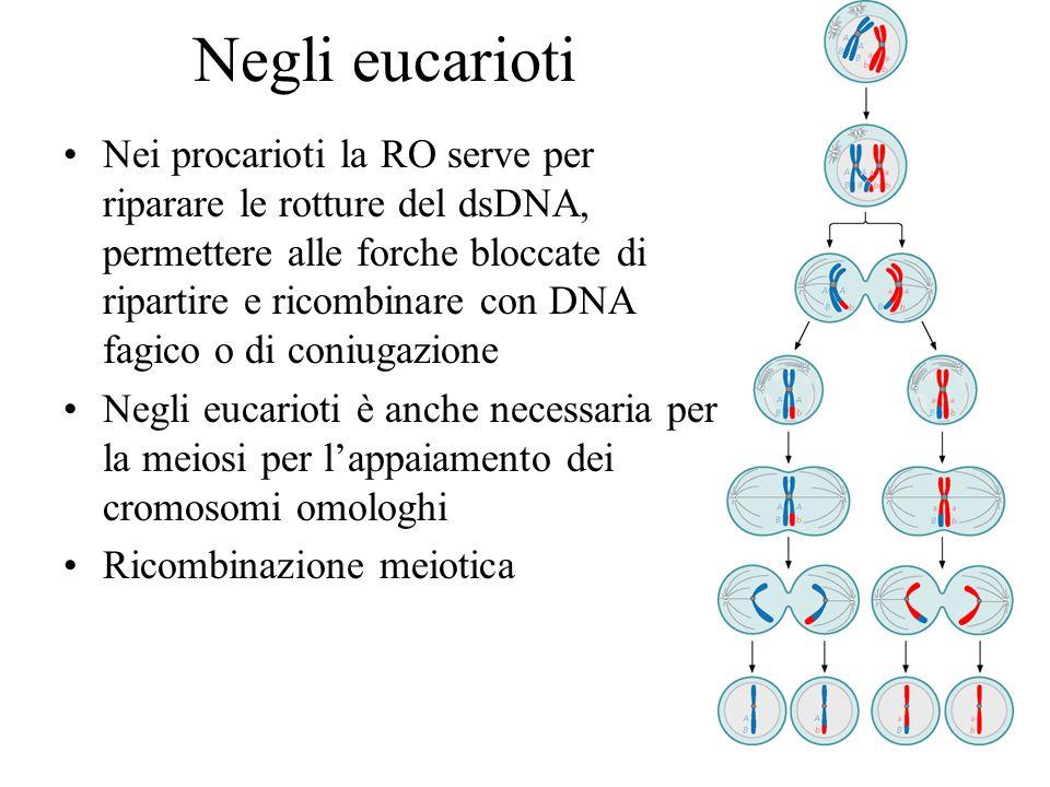 Negli eucarioti