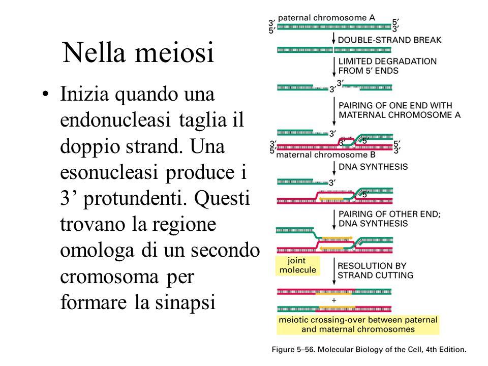 Nella meiosi