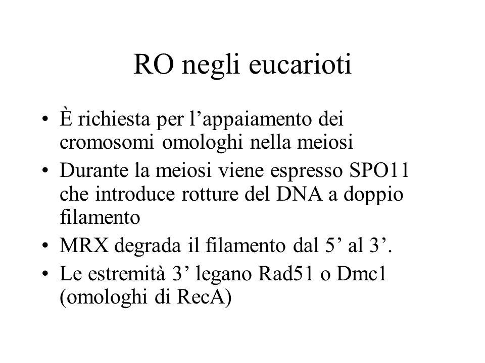 RO negli eucarioti È richiesta per l'appaiamento dei cromosomi omologhi nella meiosi.