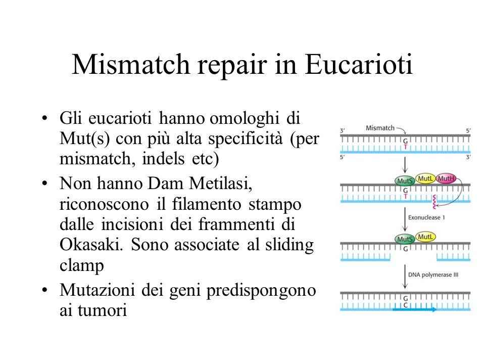 Mismatch repair in Eucarioti