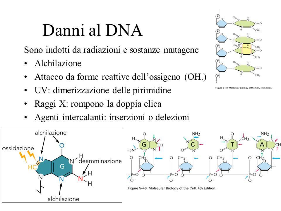 Danni al DNA Sono indotti da radiazioni e sostanze mutagene