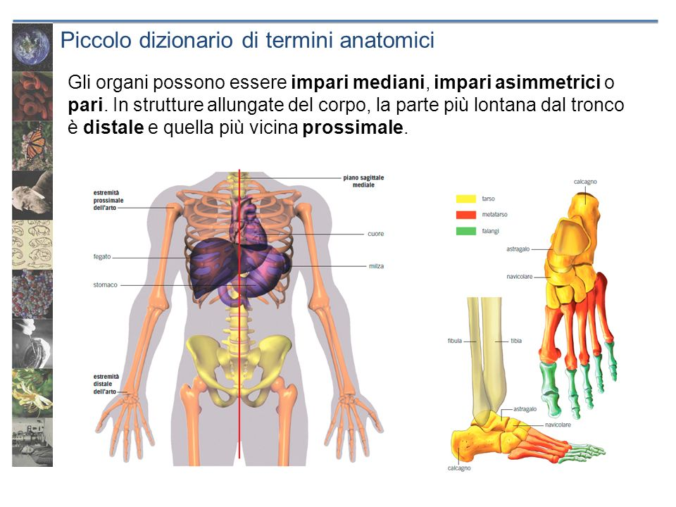 Piccolo dizionario di termini anatomici