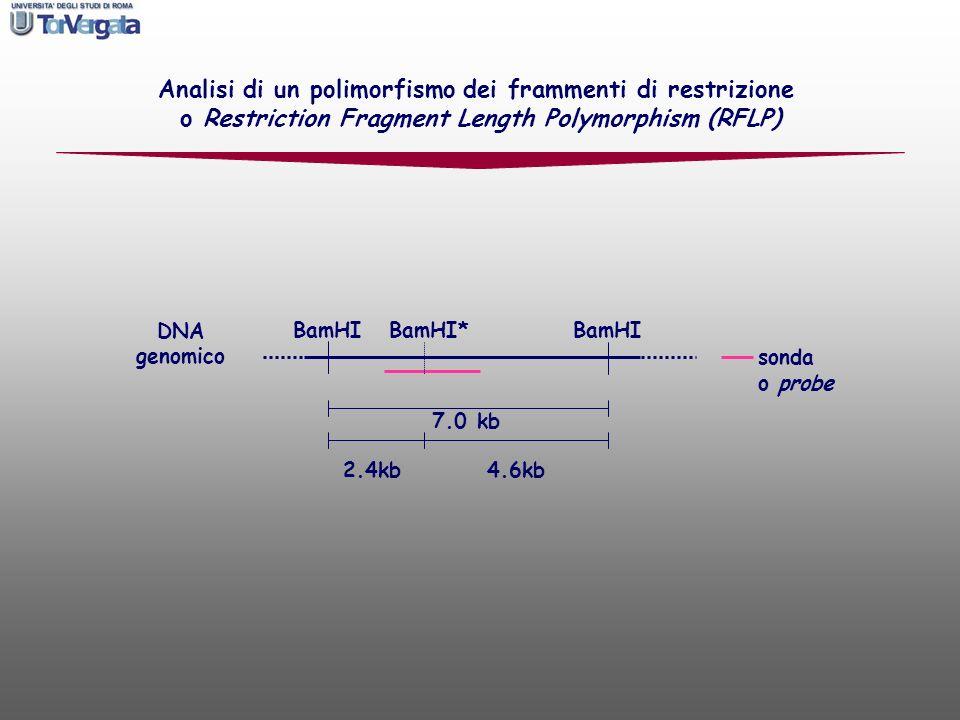 Analisi di un polimorfismo dei frammenti di restrizione