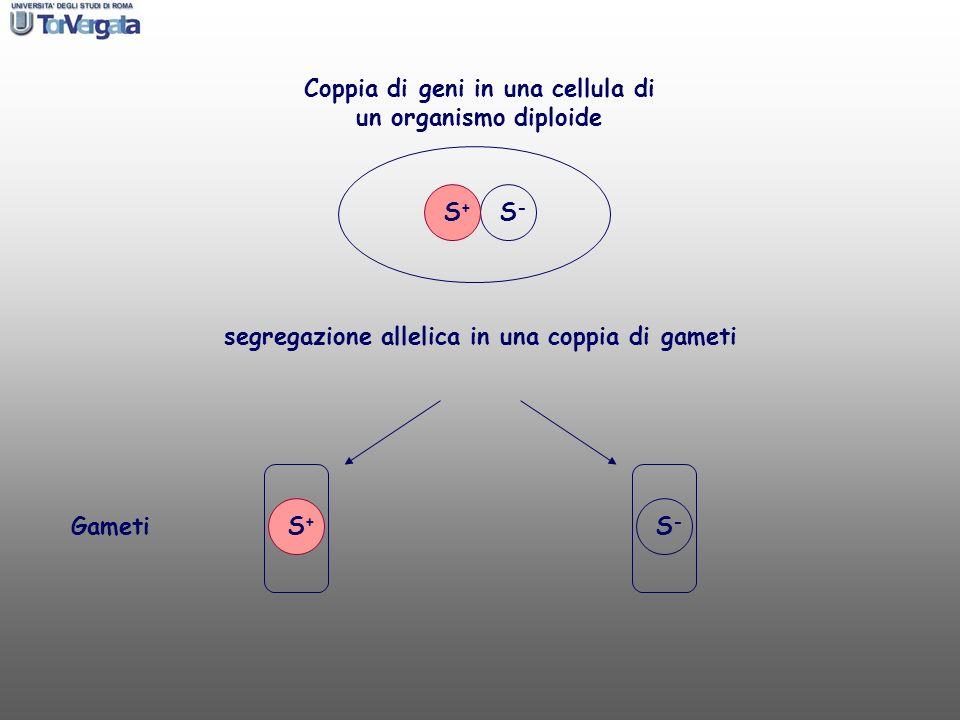 Coppia di geni in una cellula di un organismo diploide