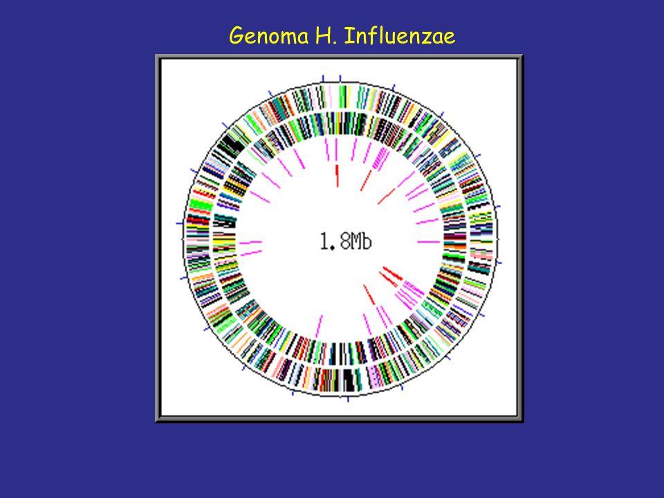 Genoma H. Influenzae