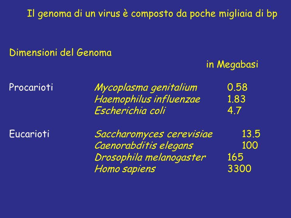 Il genoma di un virus è composto da poche migliaia di bp
