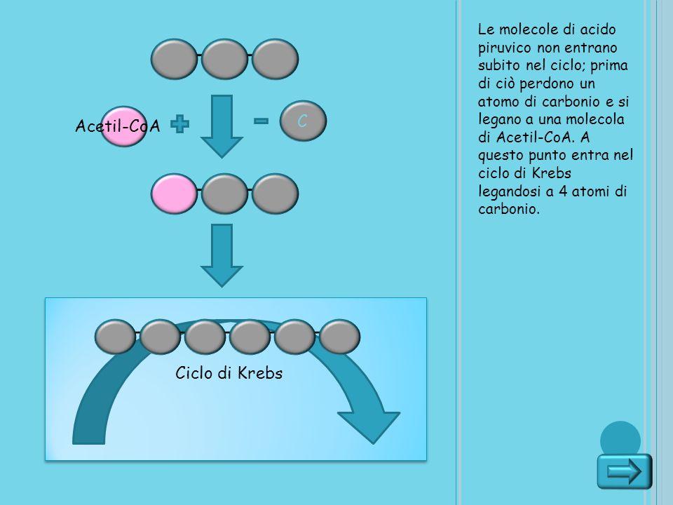 C Acetil-CoA Ciclo di Krebs