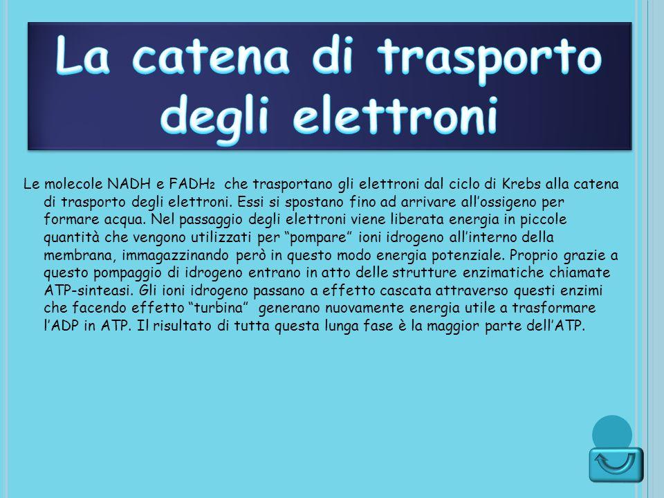 La catena di trasporto degli elettroni