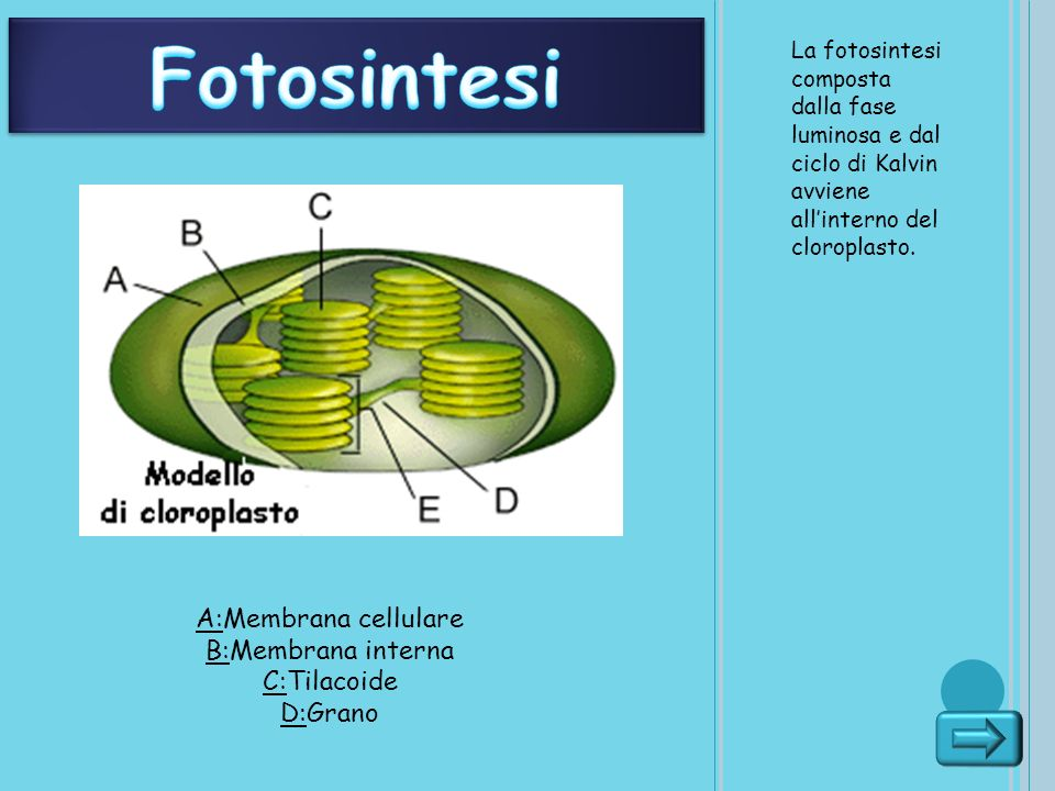 Fotosintesi A:Membrana cellulare B:Membrana interna C:Tilacoide